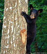 Sherri Brown - Cub in Tree
