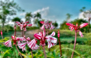 Del Rio Photo Acrylic Prints - Cuba. Tararacos wildflower in Pinar del Rio Acrylic Print by Juan Carlos Ferro Duque