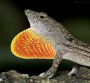 Cuban Photos - Cuban Anole Displaying by Warren Sarle
