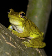 Cuban Tree Frog Posters - Cuban Tree Frog at Night Poster by Gary Villa