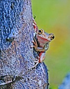 Cuban Tree Frog Posters - Cuban Tree Frog Poster by William Hanus