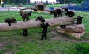 Black Bear Cubs Photos - Cubs at the Playground by Charleen Treasures