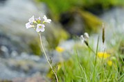 Cuckoo Photos - Cuckoo Flower (cardamine Pratensis) by Duncan Shaw
