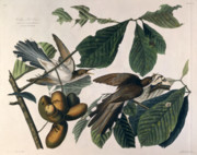 Leaf Drawings - Cuckoo by John James Audubon