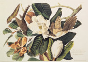 Ornithology Drawings Prints - Cuckoo on Magnolia Grandiflora Print by John James Audubon