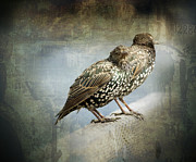 Starlings Prints - Curb Your Enthusiasm Print by Barbara  White