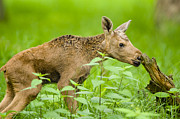 Moose Photos - Curiosity - A baby mooses business by Andy-Kim Moeller