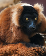 Red-ruffed Lemur Posters - Curiosity Poster by Jeffrey Campbell