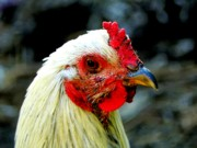 Rooster Photos - Curiosity by Karen Wiles