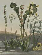 Pitcher Plants Drawings - Curious American Bog Plants by Robert John Thornton