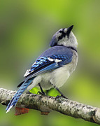 Shelley Myke Prints - Curious Blue Jay Print by Inspired Nature Photography By Shelley Myke