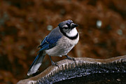 Bluejay Metal Prints - Curious Blue Jay Metal Print by Richard Gregurich