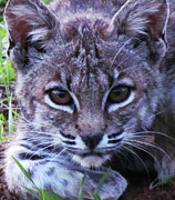 Bobcat Originals - Curious BobCat by John Irons