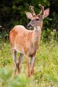 Metro Park Metal Prints - Curious Buck Metal Print by James Marvin Phelps