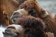 Camel Photos - Curious Camels by Scott Hovind