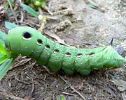 Sphinx Posters - Curious Caterpillar Poster by Al Powell Photography USA