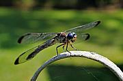 Dragonfly Photo Originals - Curious Dragonfly by Kenneth Albin