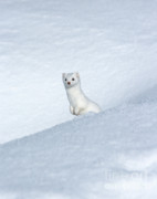 Ermine In Winter Posters - Curious Ermin Poster by Sandra Bronstein