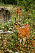 Deer Posters - Curious Fawn In Grassy Meadow Poster by Christopher Kimmel