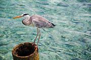 D300 Prints - Curious Heron. Maldives Print by Jenny Rainbow