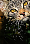 Eyes Metal Prints - Curious Kitten Metal Print by Meirion Matthias
