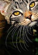 Curious Kitten Print by Meirion Matthias