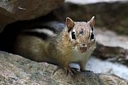 Chipmunk Photos - Curious little Chipmunk by Pierre Leclerc