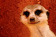 Meerkat Photos - Curious Meerkat - 2  by Tam Graff