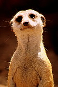 Meerkat Photos - Curious Meerkat by Tam Graff