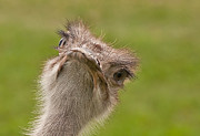 Ostrich Photos - Curious Ostrich by John Black