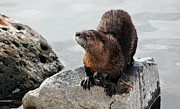 Lewiston Prints - Curious Otter Print by Les Harrington