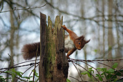 Expresive Photo Framed Prints - Curious Red Squirrel Framed Print by Graeme Robinson