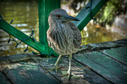 Bahamas Framed Prints - Curious Young Heron Framed Print by Noah Katz