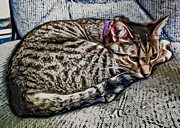 Kitty Digital Art - Curled and Ready For A Nap by David G Paul