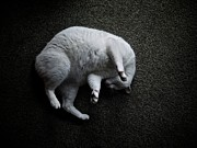 Curled Up Posters - Curled White Cat Poster by Photo ephemera