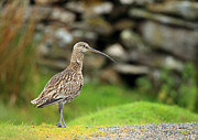 Clare Scott Prints - Curlew  Print by Clare Scott