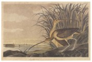 Feeding Drawings Posters - Curlew Poster by John James Audubon