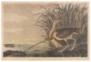 Curlew Print by John James Audubon