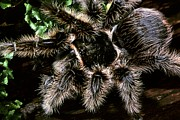 Honduras Framed Prints - Curly-hair Tarantula Framed Print by Martyn F. Chillmaid