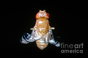 Vinegar Prints - Curly Winged Drosophila Print by Science Source
