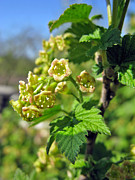 Currant In Bloom Print by Ausra Paulauskaite