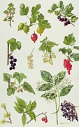 Black Berries Posters - Currants and Berries Poster by Elizabeth Rice