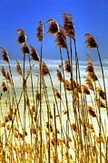 Sea Oats Prints - Currituck Oats Blue II Print by Dan Carmichael