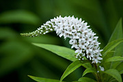 Gooseneck Loosestrife Prints - Curving Bloom Print by Jessica Lowell