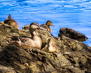 Mallard Ducklings Photos - Cute and Fuzzy by Bob Orsillo