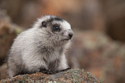 Hoary Prints - Cute and Shy Marmot Print by Tim Grams