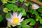 Dumindu Shanaka Metal Prints - Cute Blue lotus Metal Print by Dumindu Shanaka