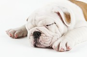 Sleeping Dog Posters - Cute Bulldog Puppy Sleeping Poster by Peter M. Fisher/Fuse