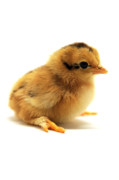 Baby Chickens Acrylic Prints - Cute Chick Acrylic Print by Laura Mountainspring