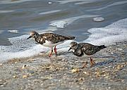 Sandpiper Prints - Cute Couple Print by Kenneth Albin